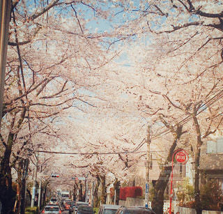 春,桜,桜並木,卒業,街路樹