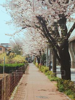春,桜,晴れ,桜並木,お花見,歩道,休日