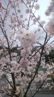 花,春,桜,青空,樹木,Sky,Cherry Blossoms,草木,Spring,桜の花,スカイ,さくら,ブルーム,ブロッサム