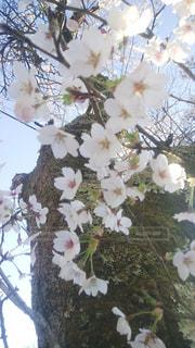 花,春,桜,木,満開,樹木,flowers,Cherry Blossoms,草木,bloom,ブルーム,ブロッサム,木の下で