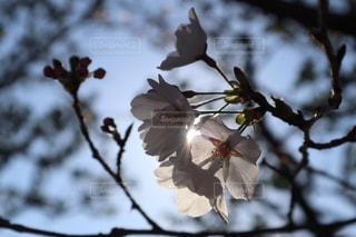 空,花,春,桜,屋外,枝,木漏れ日,光,樹木,お花見,神秘的,景観,さくら
