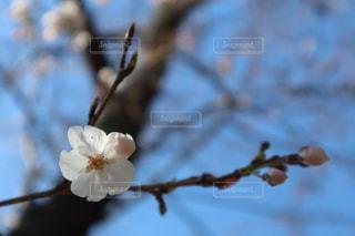 空,花,春,木,ピンク,白,青空,青,枝,景色,鮮やか,樹木,空の下,草木,桜の花,ソメイヨシノ,さくら,ブルーム,広沢池,ブロッサム,フローラ