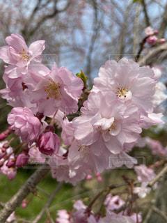 1人,花,春,カメラ,桜,木,屋外,ピンク,白,綺麗,枝,花見,鮮やか,お花見,写真,iphone,草木,桜の花,さくら,ブルーム,ブロッサム