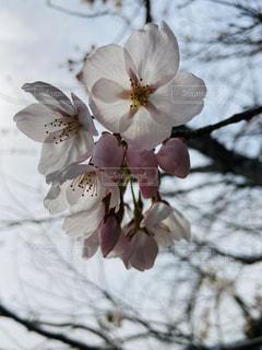 1人,花,春,カメラ,桜,屋外,ピンク,太陽,白,青,花見,光,樹木,お花見,写真,iphone,光漏れ,草木,桜の花,日中,さくら,ブルーム,ブロッサム,スケスケ,光盛れ