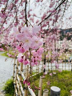 花,春,カメラ,桜,屋外,太陽,白,青,花見,鮮やか,光,樹木,お花見,写真,iphone,嵐山,光漏れ,草木,桜の花,さくら,ブロッサム,独占,光盛れ,独占状態