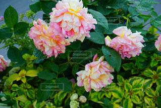 花,屋外,ピンク,可愛い,睡蓮,ガーデン