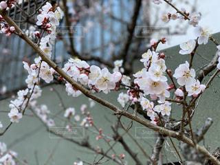 花,春,桜,屋外,桜の花,さくら