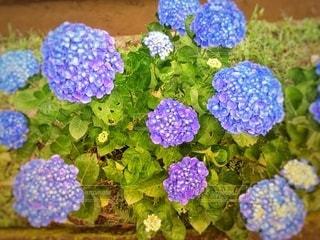 真上から見た紫陽花の写真・画像素材[3396252]