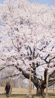 女性,花,桜,屋外,晴天,花見,樹木,デート,草木