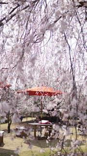 花,春,屋外,花見,樹木,草木,桜の花,さくら,ブロッサム