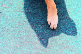 犬,手,柴犬,犬の手