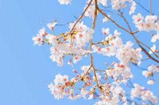 空,花,春,屋外,青い空,鮮やか,空気,桜の花,さくら,ブロッサム