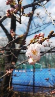 花,春,桜,枝,一輪,樹木,ブロッサム