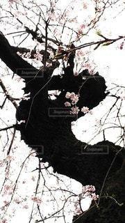 花,春,桜,動物,屋外,ピンク,白,しだれ桜,花見,樹木,女の人,幹,くびれ,ウエスト,薄いピンク