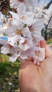 花,春,桜,屋外,晴れ,手,景色,満開,キャラクター,草木,ブルーム,ブロッサム,ブタちゃん