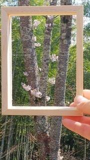 花,桜,屋外,晴れ,手,景色,樹木,竹林,木のフレーム,蘭丸ふる里の森