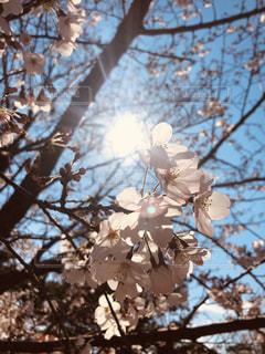 空,春,桜,さくら