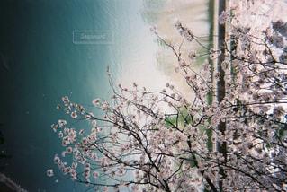 自然,花,春,桜,屋外,湖,花見,レトロ,樹木,フィルムカメラ,写ルンです