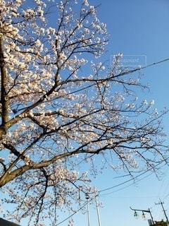 空,花,春,桜,屋外,サクラ,樹木,電線,朝,草木,さくら,ブロッサム