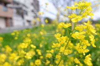 自然,風景,花,春,散歩,黄色,菜の花,満開,草木
