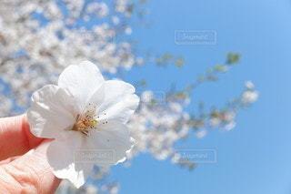 自然,風景,空,花,桜,散歩,青い空,手,サクラ,満開,草木,ソメイヨシノ