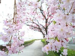 自然,花,春,桜,ピンク,散歩,満開,草木,桜の花,さくら