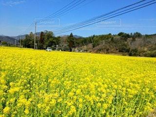 自然,風景,空,花,春,花畑,散歩,黄色,菜の花,田舎,満開,野原,日本,九州,宮崎,草木,軽トラ