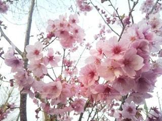 花,春,桜,ピンク,散歩,満開,樹木,草木,桜の花,さくら