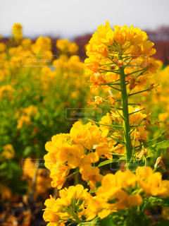 風景,花,春,黄色,菜の花,草木