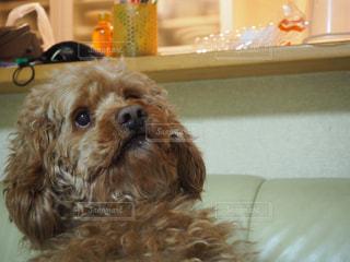 家族,犬,動物,屋内,かわいい,茶色