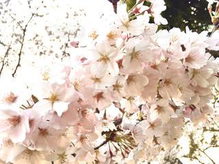 花,春,桜,お散歩,桜の花,さくら,ブロッサム