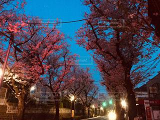 空,桜,桜並木,夜明け,樹木