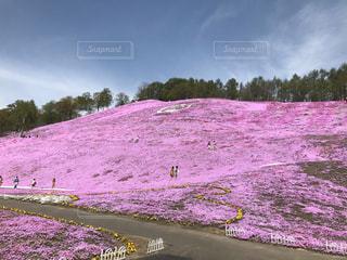 自然,風景,空,花,桜,ピンク,景色,満開,草,写真,芝桜,草木