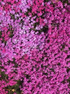 自然,花,桜,ピンク,景色,鮮やか,写真,芝桜