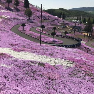自然,風景,花,桜,屋外,ピンク,白,景色,草,写真,芝桜,草木,ガーデン