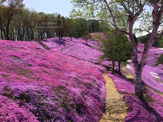 自然,風景,公園,花,春,桜,ピンク,カラフル,きれい,綺麗,景色,鮮やか,旅,写真,芝桜