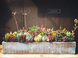 カラフルな多肉植物の写真・画像素材[3050774]