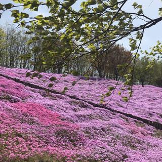 自然,風景,空,花,春,桜,お花畑,森林,屋外,ピンク,カラフル,きれい,綺麗,紫,景色,お花,鮮やか,樹木,写真,芝桜,草木,きれいな景色,自然の写真