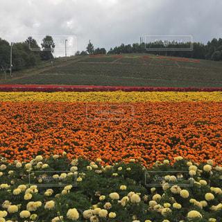 富良野のお花畑です🌷の写真・画像素材[3079172]