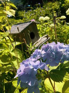 紫陽花と巣箱の写真・画像素材[3079372]
