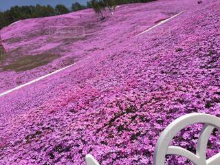 芝桜の写真・画像素材[3079514]