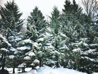 雪に覆われた木の写真・画像素材[3081472]