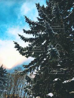 雪に覆われた木の写真・画像素材[3081471]