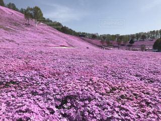 満開の芝桜の写真・画像素材[3084566]