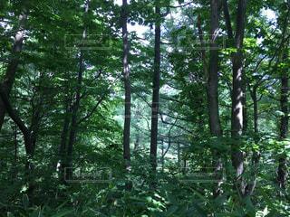 森の中の木の写真・画像素材[3144773]