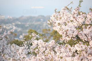 海,花,春,桜,船,満開,ブロッサム