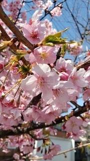 公園,花,春,桜の花,ブロッサム