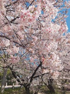 花,屋外,樹木,草木,桜の花,さくら,ブロッサム