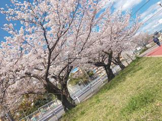 花,春,屋外,草,樹木,草木,桜の花,さくら