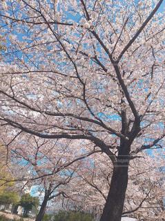 空,公園,花,春,屋外,樹木,草木,桜の花,さくら,ブロッサム